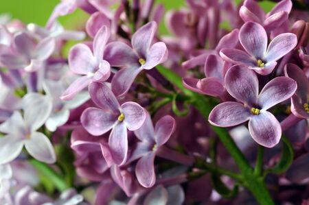 lilac flowers: Purple lilac flowers