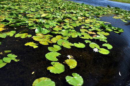 turf bog: White water lilies in the Danube delta, Romania