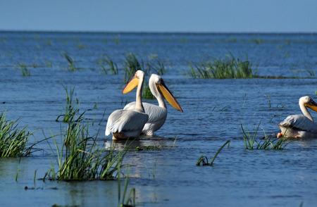 great white pelican: Great white pelican flying Pelecanus onocrotalus in the Danube delta