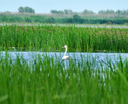 bird feathers: White swan on a lake in Danube delta