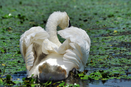 swimming swan: White swan on a lake in Danube delta