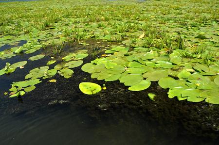 turf bog: Swamp vegatation in the Danube delta, Romania