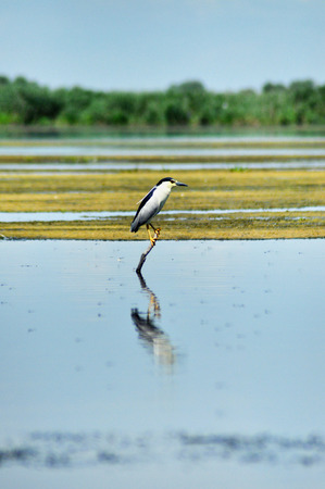 danube delta: Black-crowned Night Heron standing on a branch. Danube delta