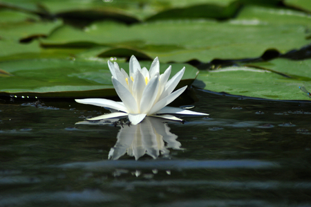 danubian: White water lily in the Danube delta, Romania Stock Photo