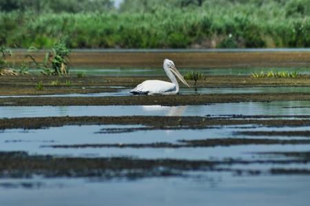 danube delta: Great white pelican flying Pelecanus onocrotalus in the Danube delta