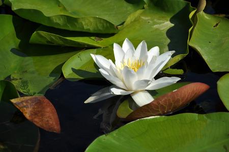 turf bog: White water lily in the Danube delta, Romania Stock Photo