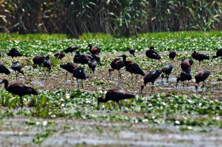danube delta: Flock of ibis birds Plegadis falcinellus in the Danube delta