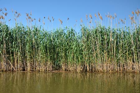danube delta: Sedge in the marshland in spring. Danube delta, Romnaia Stock Photo
