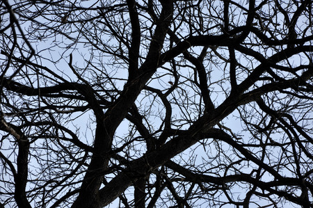leafless: Leafless tree branches perspective. Top of trees against sky