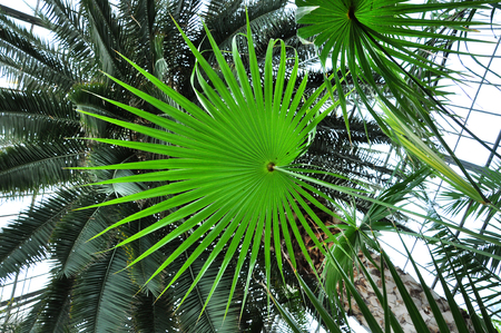 nervure: Chinese fan palm tree leaf