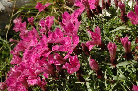 endemic: Dianthus callizonus, endemic plant carnation from Piatra Craiului Mountains (Romanian Carpathians)