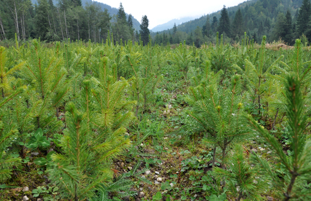 fir  tree: Fir tree nursery, young spruce growing