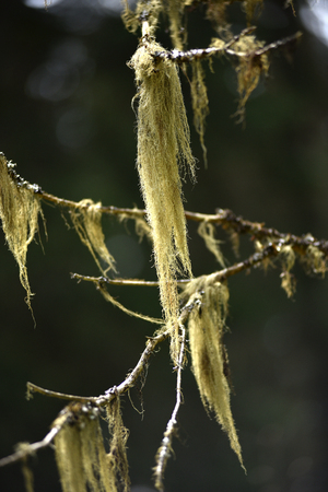 symbiosis: Usnea barbata, old mans beard fungus on a pine tree branch