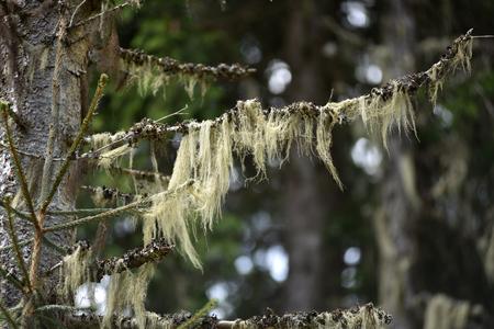 Usnea barbata, old mans beard hanging on a fir tree branch
