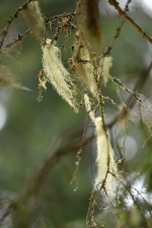 symbiosis: Usnea barbata, old mans beard. Fungus living in symbiosis with alga