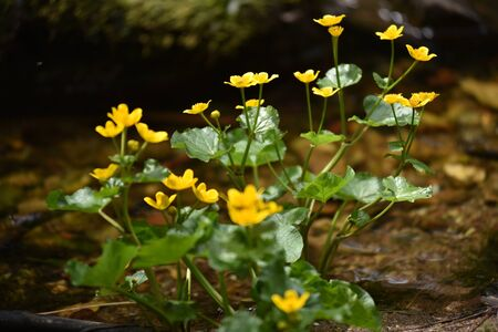 soggy: Yellow wildflowers living on soggy, wet soil