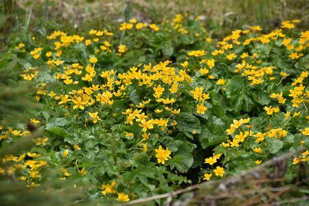 yellow wildflowers: Field full with yellow wildflowers