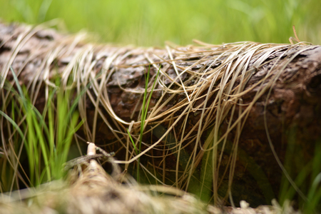 turf pile: Young green grass and dry grass on a trunk in the forest