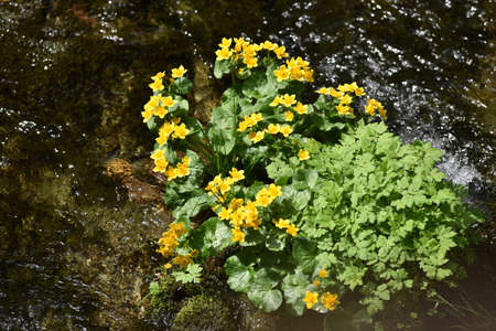 yellow wildflowers: Yellow wildflowers living on soggy, wet soil