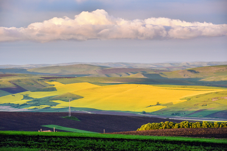 raped: Yellow canola field in the summer