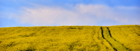 raped: Canola field in the summer. Blooming rapeseed under blue sky Stock Photo