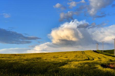 raped: Yellow oilseed rape field under the blue sky