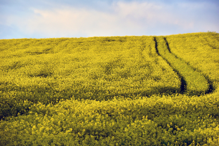 Yellow rapeseed flower field Stock Photo