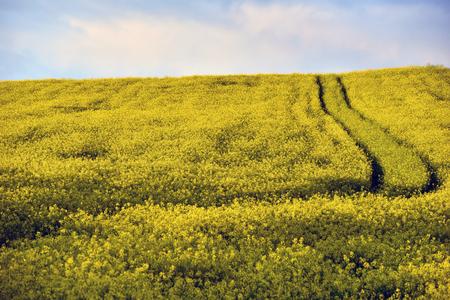 raped: Yellow rapeseed flower field Stock Photo
