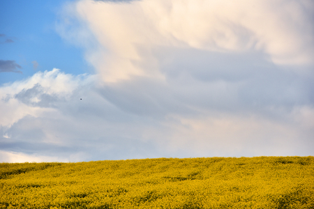 raped: Abstract background of a canola field Stock Photo