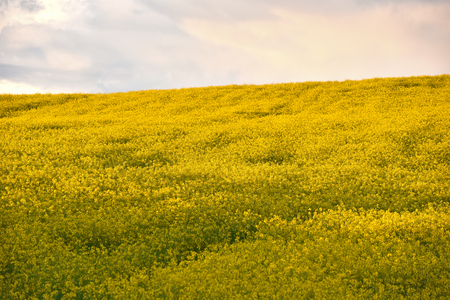 raped: Yellow rapeseed Stock Photo