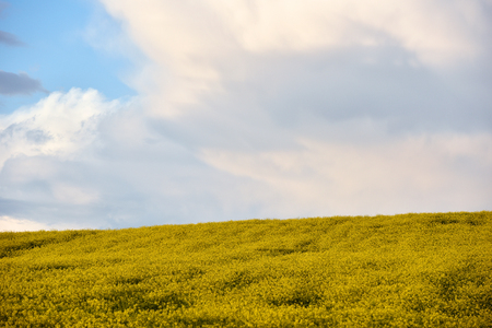 raped: Canola field in the summer