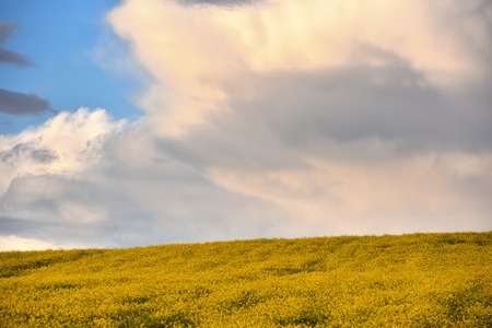raped: Yellow rapeseed flower field Stock Photo