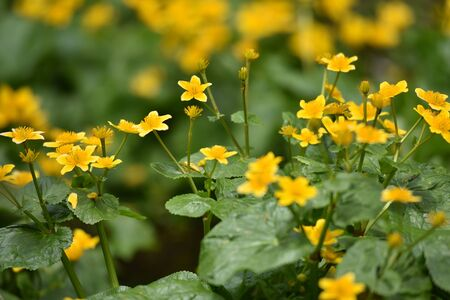 yellow wildflowers: Yellow wildflowers blooming in the spring