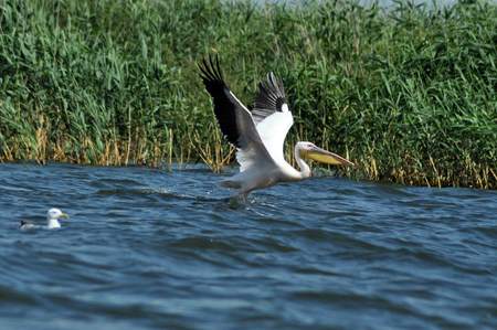 onocrotalus: Great pelican ( Pelecanus onocrotalus ) taking off from the water surface, Danube Delta, Romania