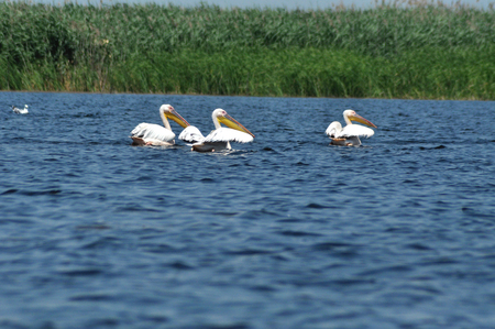 onocrotalus: Great pelican (Pelecanus onocrotalus )  on the water surface, Danube Delta, Romania Stock Photo