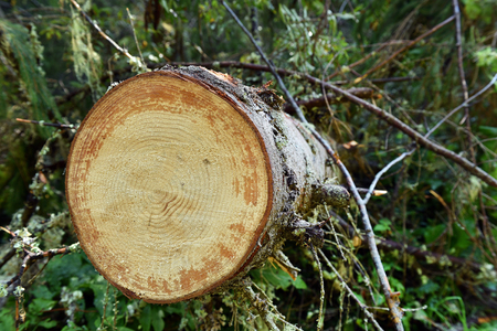 deforestacion: Environmetal concept, illegal deforestation. Freshly cut pine tree log