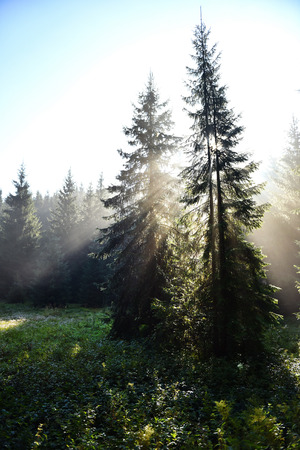 Beams of morning sunlight in a deep, dark forest Stock Photo