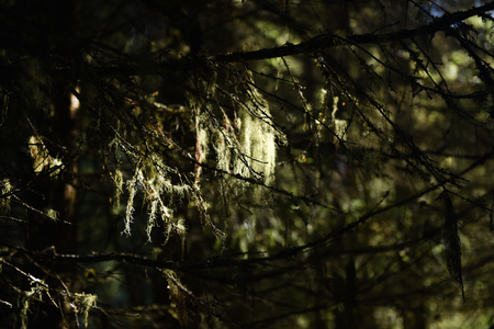 symbiosis: Usnea barbata, old mans beard hanging on a fir tree branch