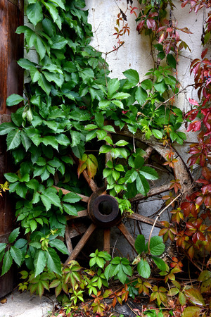 Antique wooden wheel covered with green ivy in a yard
