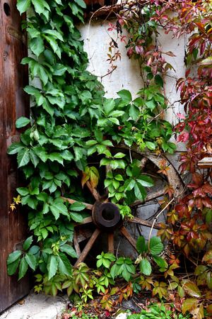 old wood farm wagon: Antique wooden wheel covered with green ivy in a yard