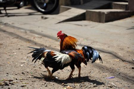 Cock fighting in Vietnam