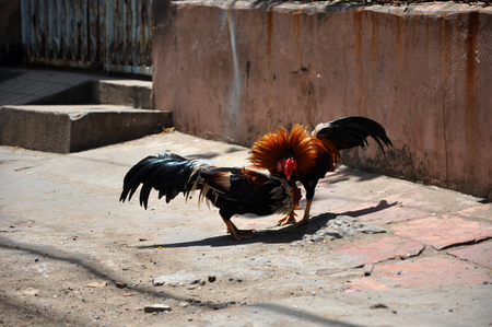 fierce competition: Cock fighting in Vietnam