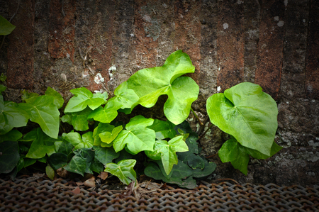 Natural background of vibrant green ivy leaves with vignette borders