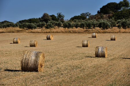 harvested: Straw bales, haystack on agricultural farmland against blue sky