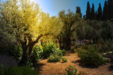 Goddelijk licht, zonnestraal in de tuin van Gethsemane, Olijfberg, Jeruzalem. Bijbelse plaats waar Jezus werd verraden door Judas