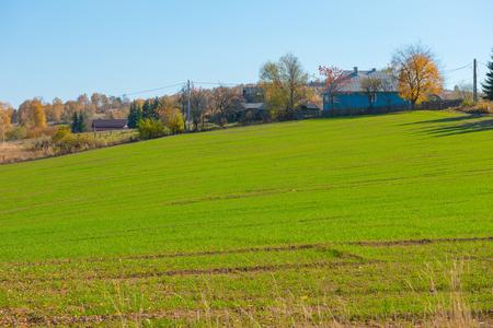 Campo de cultivo verde. Prado agrícola, trigo durante el verano