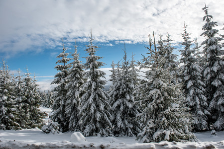 Amazing winter landscape with snow covered fir tree forest Stock Photo