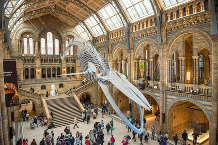 LONDON, UK - MARCH 22, 2019: Giant skeleton of a blue whale hanging in the central hall of the Natural History Museum of London