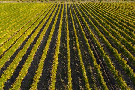 Top view of a vineyard at autumn. Aerial drone shot Stock Photo