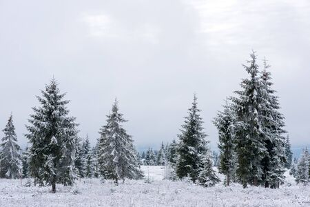 Winter landscape with snow-covered pine and fir trees. Christmas concept